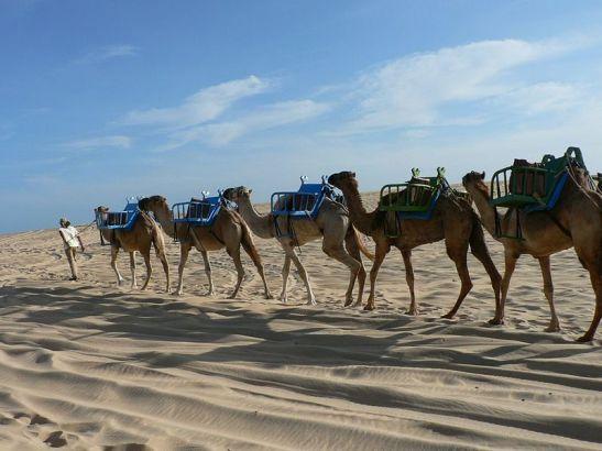 Dromedários para um passeio como no deserto (foto de Wikipedia)