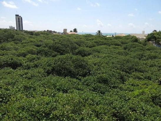 Toda esta vegetação pertence ao maior cajueiro do mundo.  Ao fundo a praia de Pirangi do Norte.