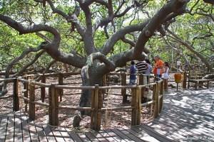 O tronco principal do maior cajueiro do mundo, na praia de Pirangi do Norte, Parnamirim, Rio Grande do Norte, Brasil