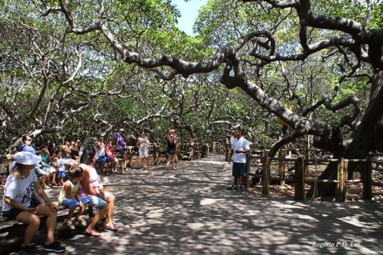 Um guia do parque ocasionalmente reúne as pessoas para contar a história do maior cujueiro do mundo.