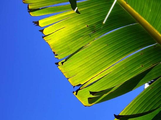 Natureza bananeira (02)