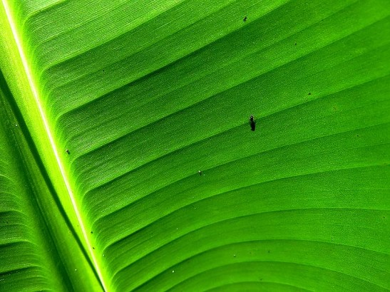 Natureza bananeira (07)