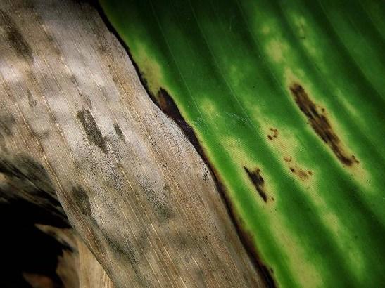 Natureza bananeira (10)