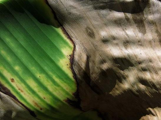 Natureza bananeira (11)
