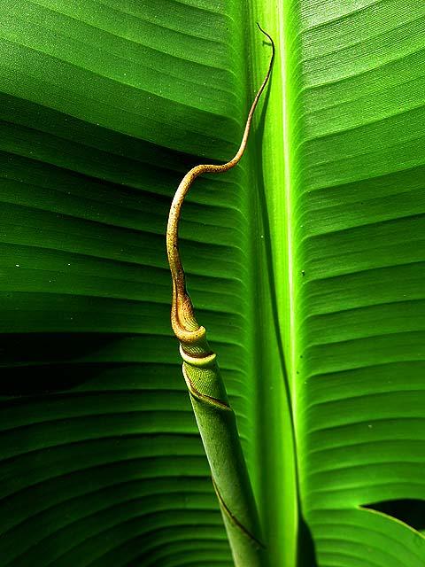 Natureza bananeira (13)