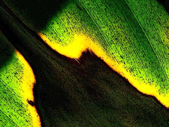 Natureza bananeira (17).jpg.