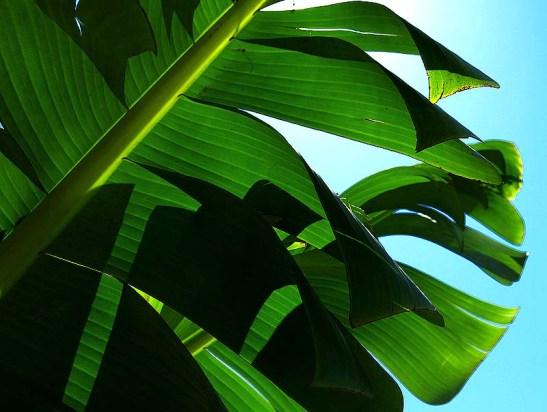 Natureza bananeira (20).jpg.